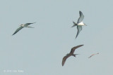 Terns, Bridled & Moth @ near Horsburgh Lighthouse