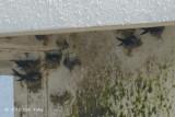 Swiftlet, Black-nest @ Horsburgh
