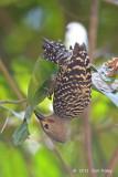Woodpecker, Buff-rumped (male)