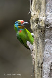 Barbet, Black-browed @ Bukit Tinggi