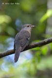 Cuckoo, Rusty-breasted