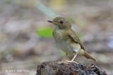 Flycatcher, Brown-chested Jungle (first winter) @ Bidadari