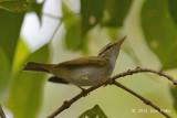 Warbler, Eastern Crowned @ Pasir Ris