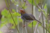 Tailorbird, Ashy (male) @ Pasir Ris
