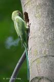 Parakeet, Rose-ringed (female) @ Bidadari
