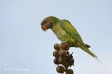 Parakeet, Red-breasted (juv) @ Halus