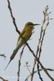 Bee-eater, Blue-tailed