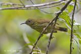 Sunbird, Purple-naped (fem)