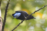 Bluebird, Asian Fairy (male)