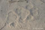 Tiger pug mark @ Corbett