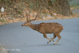 Deer, Spotted