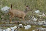 Deer, Sambar @ Corbett