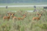 Deer, Swamp @ Kaziranga