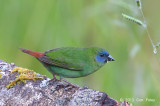 Parrot-finch Blue-faced (male) @ Mt Lewis