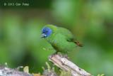 Parrot-Finch, Blue-faced (male) @ Mt Lewis