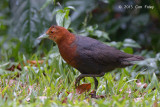 Crake, Red-necked