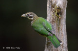 Catbird, Spotted @ Chambers Wildlife