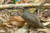 Riflebird, Victoria's (female) @ Chamber's Wildlife