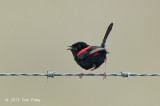 Fairy-wren, Red-backed (male) @ Julatten