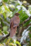 Dove, Brown Cuckoo @ Mt Lewis