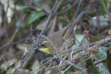 Scrubwren, Yellow-throated (female) @ Mt Lewis