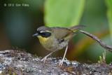Scrubwren, Yellow-throated (male) @ Mt Lewis