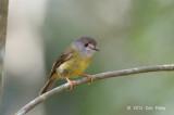 Robin, Pale Yellow @ Kingfisher Park