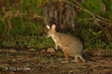 Red-legged Pademelon @ Mt Lewis