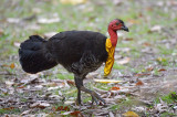 Brush-turkey, Australian (male) @ Mt Hypipamee