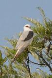 Kite, Black-shouldered @ Atherton