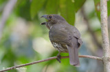 Bowerbird, Tooth-billed (male) @ Lake Barrine
