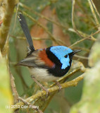 Fairy-wren, Lovely (male) @ Pinnacle Road, Julatten