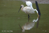 Spoonbill, Royal @ Beatrice Rd, Daintree