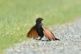 Coucal, Pheasant