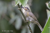 Honeyeater, Macleay's @ Kingfisher Park