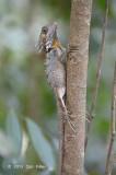 Boyd's Forest Dragon (female) @ Kingfisher Park