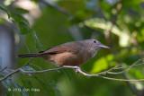 Shrike-thrush, Little @ Cape Tribulation