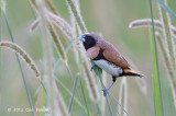 Munia, Chestnut-breasted @ Stewart Creek Rd