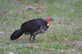 Brush-turkey, Australian (female) @ Red Mill House