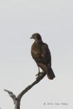 Falcon, Black @ Julatten