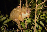Possum, Green Ringtail @ Curtain Fig
