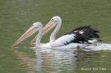 Pelican, Australian @ Hasties Swamp