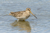 Snipe, Latham's @ Hasties Swamp