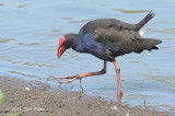 Swamphen, Australian @ Hasties Swamp