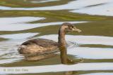 Grebe, Australasian @ Hasties Swamp