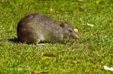 Northern Brown Bandicoot @ Red Mill House
