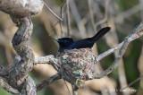 Flycatcher, Shining (male) @ Daintree River