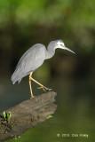 Heron, White-faced @ Daintree River