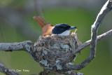 Flycatcher, Shining (female) @ Daintree River