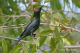 Starling, Metallic @ Cattana Wetlands